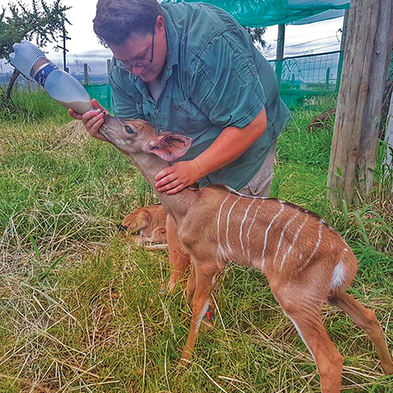 Lucy the common duiker drinking