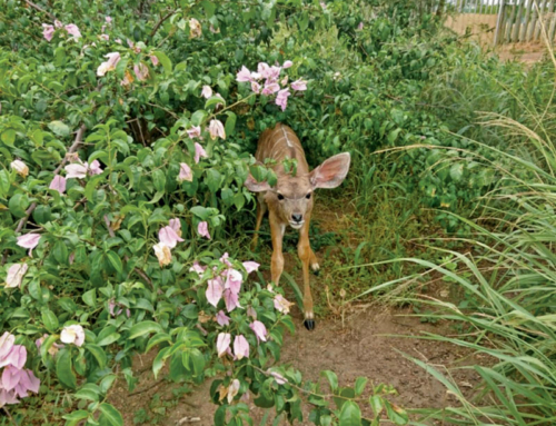 Lucy the common duiker