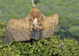 vulture spreading his wings